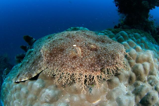 Tassled Wobbegong is definitely one of the funniest fish names in the ocean.