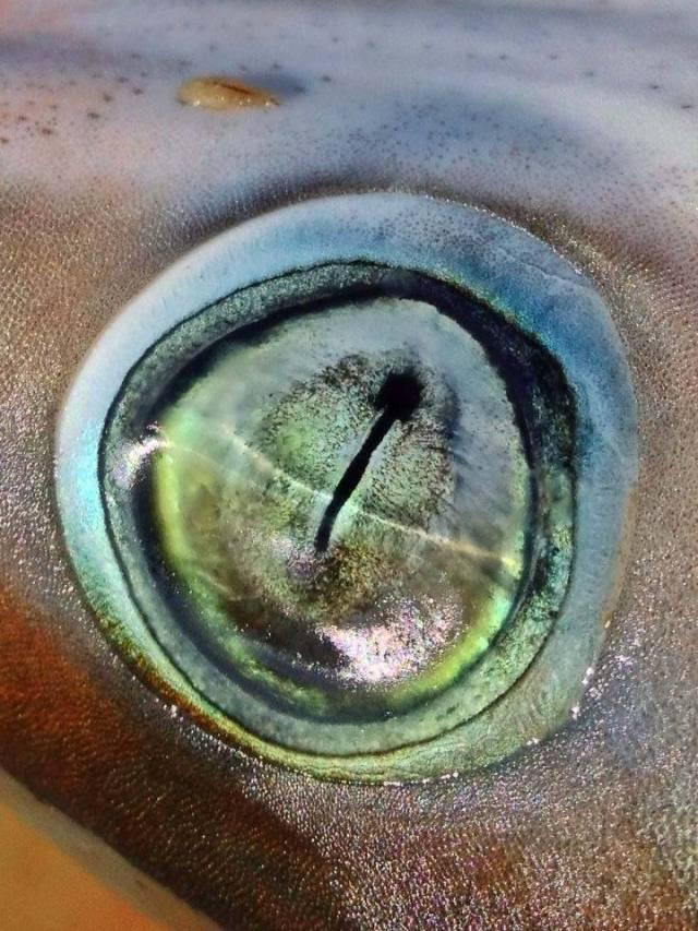 The eye of a sharpnose shark