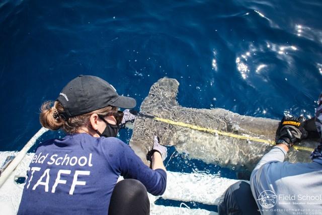 Shark scientists measure a hammerhead shark
