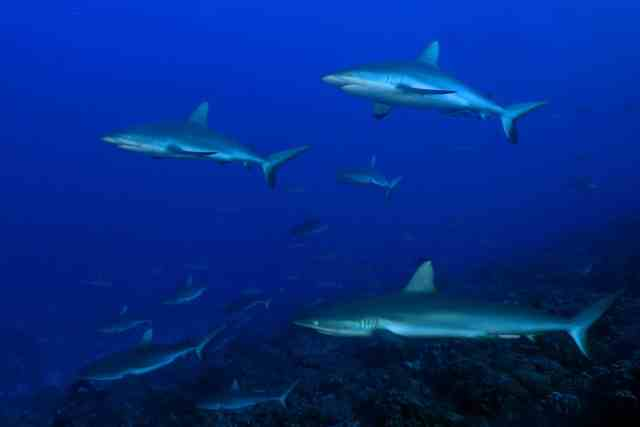 reef sharks in french polynesia