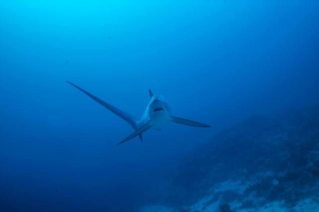 natural shark encounters thresher shark