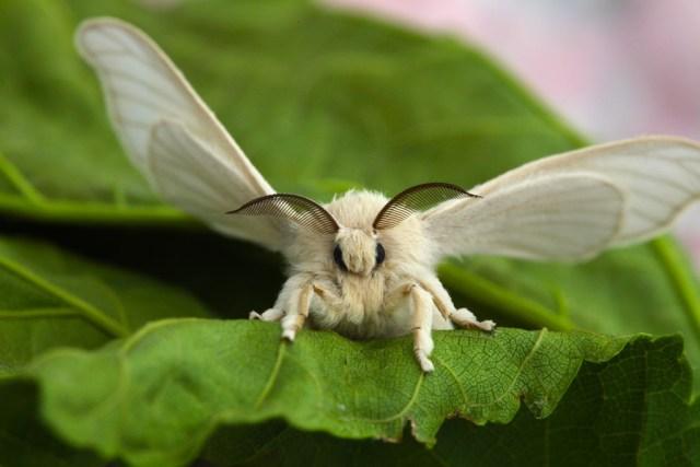 Bombyx Mori Moth