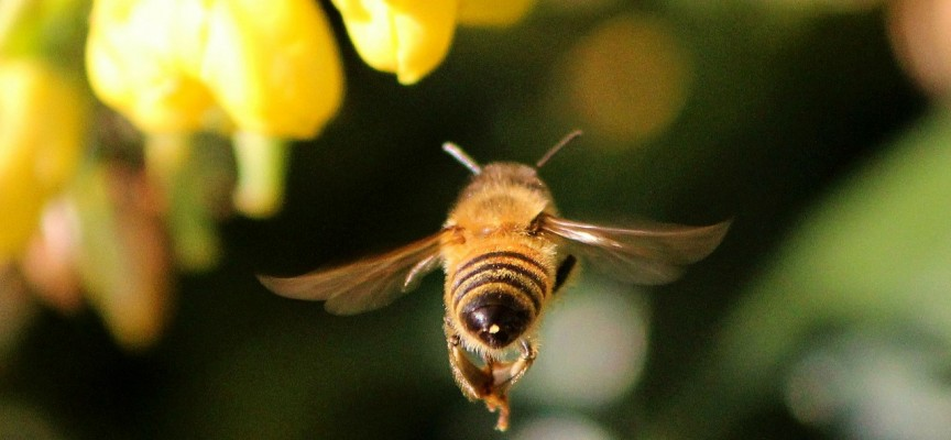 Les abeilles sont essentielles pour notre biodiversité.