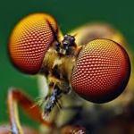 yeux des insectes