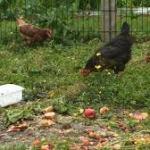 poules et déchets