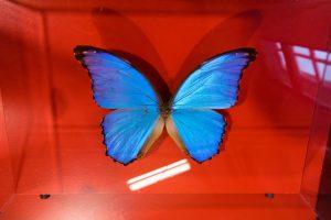 papillon Morpho
