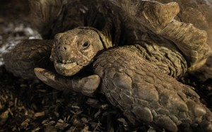 spur-thighed-tortoise-cites-ndc-7068