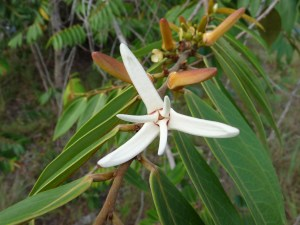 Image 1_Annonaceae_Xylopia aromatica_tree