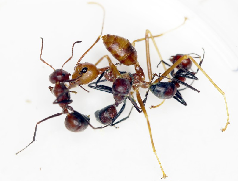 Three 'exploding' ants of the new species grasping onto a weaver ant.