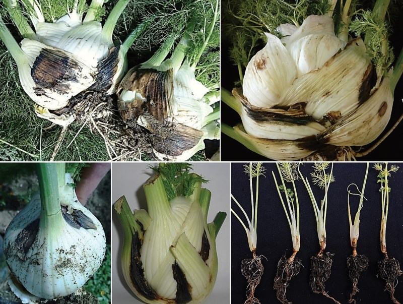 Symptoms caused by Ochraceocephala foeniculi on fennel plants