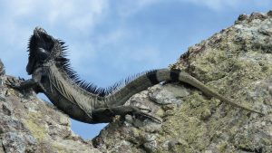 A basking iguana optimizing after different trials its warming by a curved position