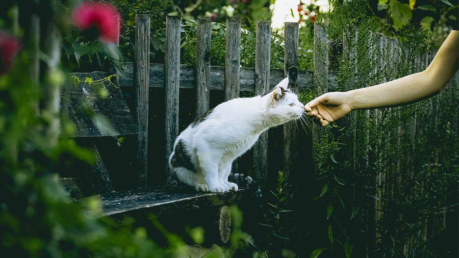貓草種子貓薄荷