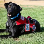 service dog with harness on
