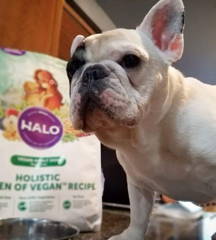 manny the frenchie with his favorite meatless monday meal from Halo