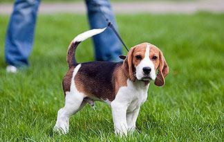 Beagle on lead