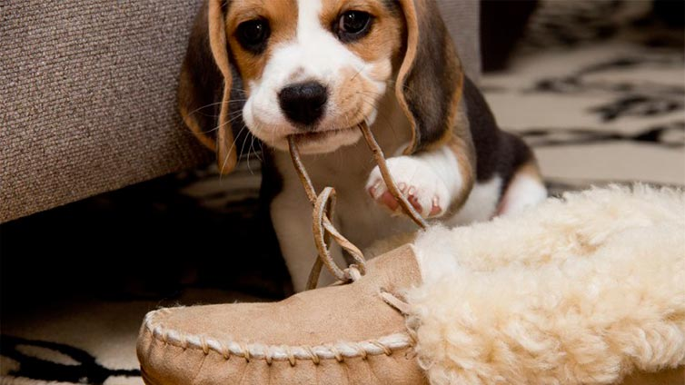 Puppy chewing slipper