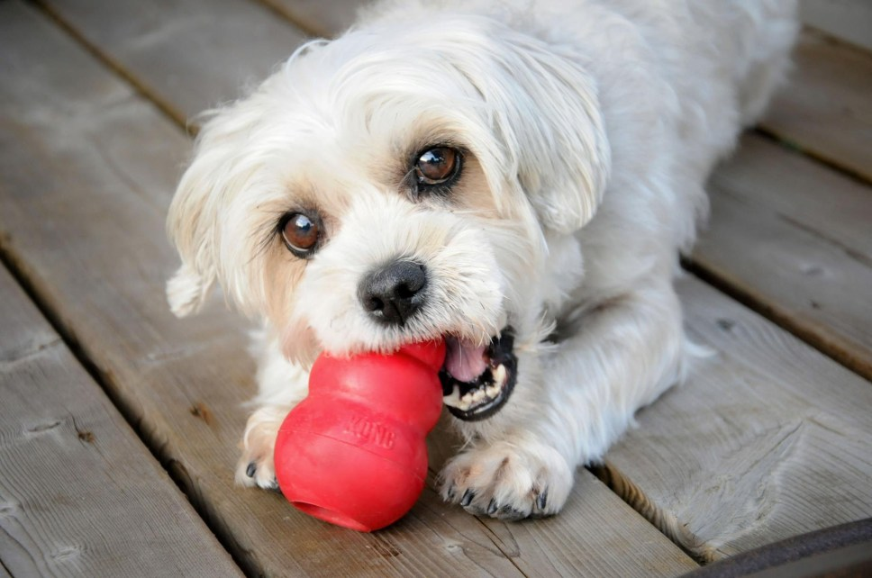 Dog chewing Kong Toy