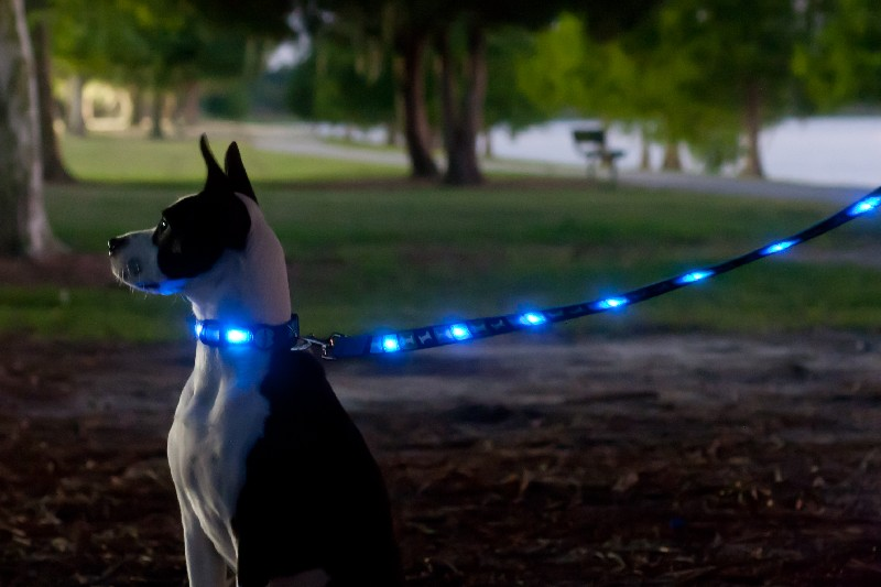 dog with a reflective collar and lead