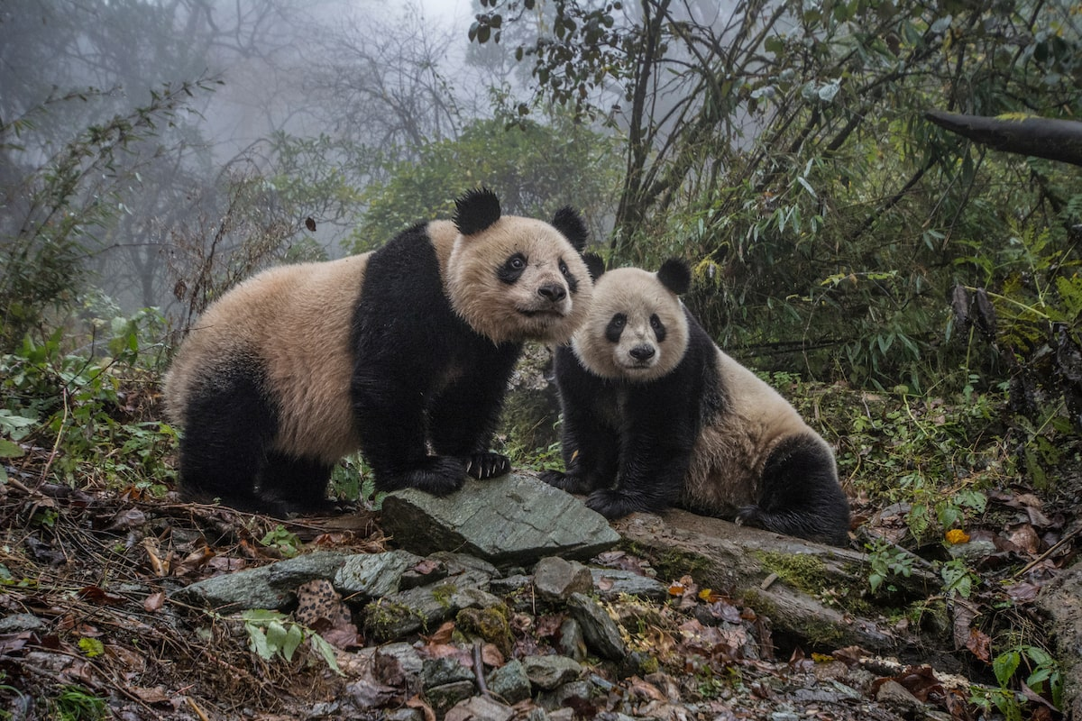 Pandas in China (Photo by Ami Vitale)