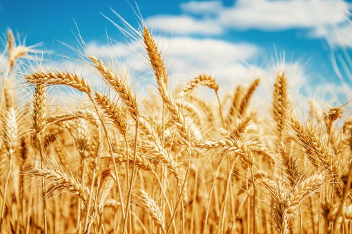 Piping Rock - The Pipe Line - What is Gluten?