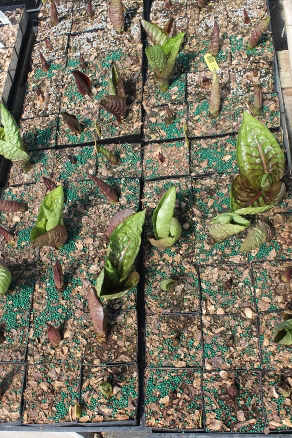 Cardiocrinum giganteum emerging in nursery