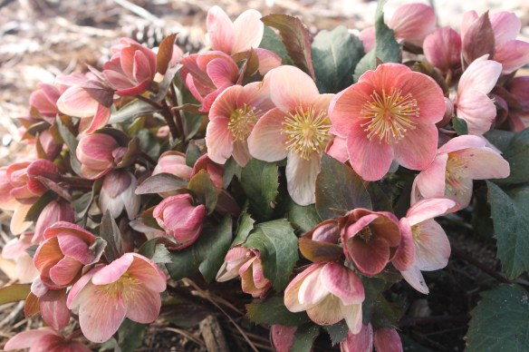Helleborus x ballardiae HGC Pink Frost19(63550)