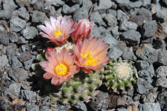 Pediocactus knowitonii in flower