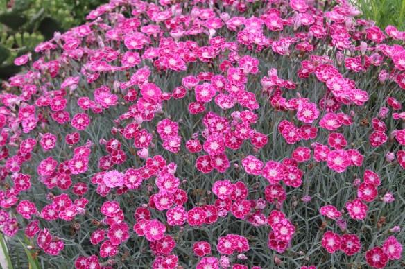 Dianthus Sangria Splash - horiz