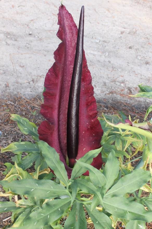 Dracunculus vulgaris AGA 2118-01 flower
