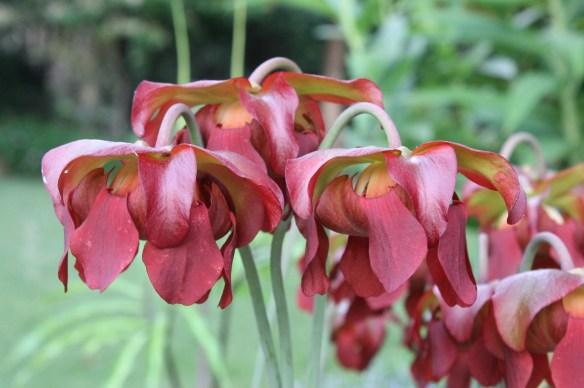 Sarracenia Daina's Delight flowers