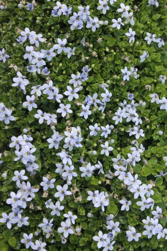 Laurentia fluvitalis5