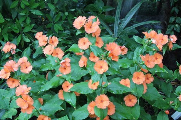 Lychnis coronata Orange Sherbet5
