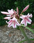 Crinum x herbertii 'Carroll Abbott'