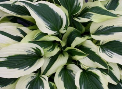 Hosta 'Ice Follies' PPAF