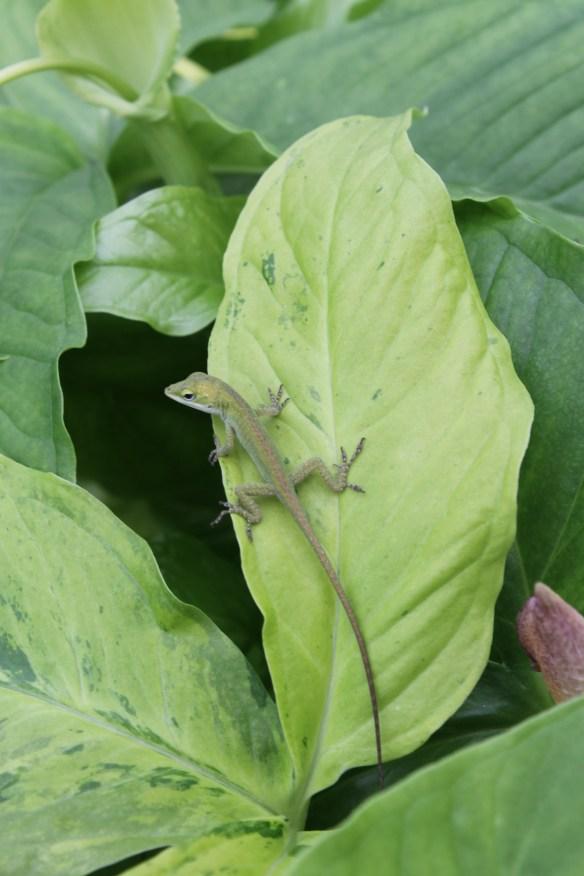 Anole on Pinellia tripartita Free Tibet leaf