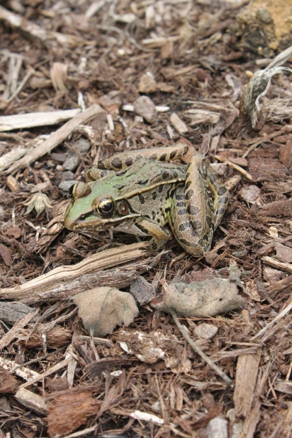 Bullfrog2