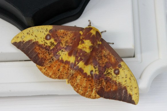 Imperial moth at PDN