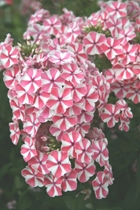 Phlox 'Peppermint Twist' PP# 18,196