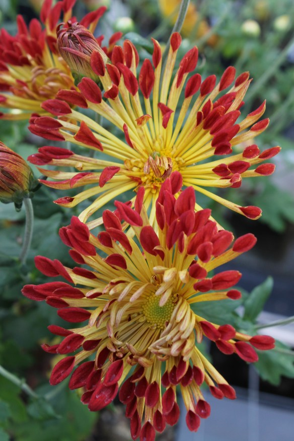 Chrysanthemum Matchsticks5
