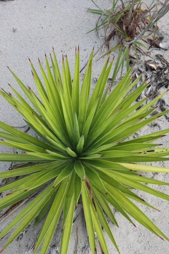 Yucca aloifolia chartreuse foliage at Emerald Isle