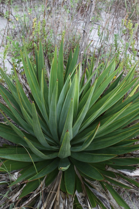 Yucca gloriosa green at Emerald Isle