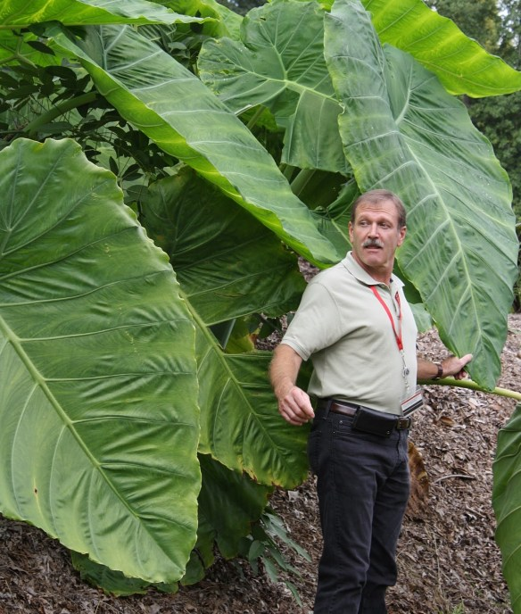 Colocasia gigantea Laosy Giant with Alan Galloway2 (63848).cc