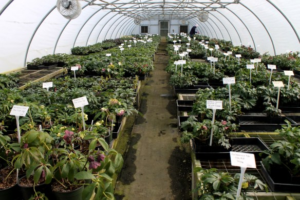 Hellebore stock green house