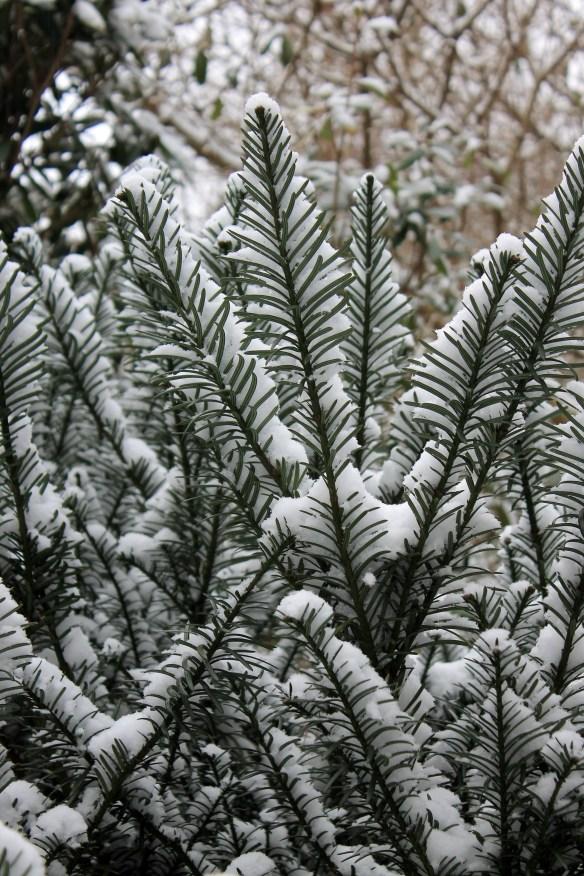 Cephalotaxus harringtonia McCorkle in snow