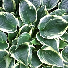 Hosta 'Showbiz'