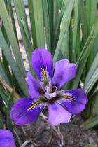 Iris unguicularis 'Purple Snow'
