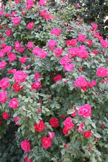 Rosa 'Radrazz'