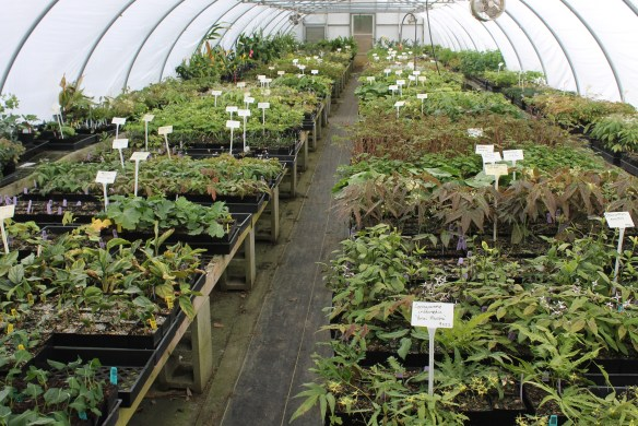 Epimedium greenhouse