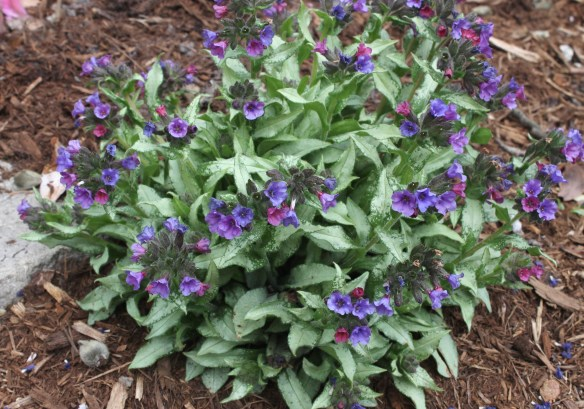 Pulmonaria Diana Clare in full flower