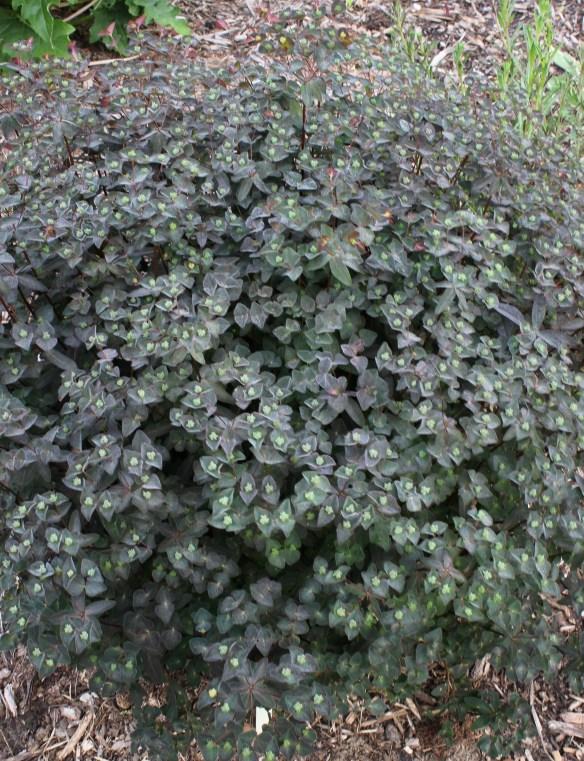 Euphorbia x martinii Cherokee5